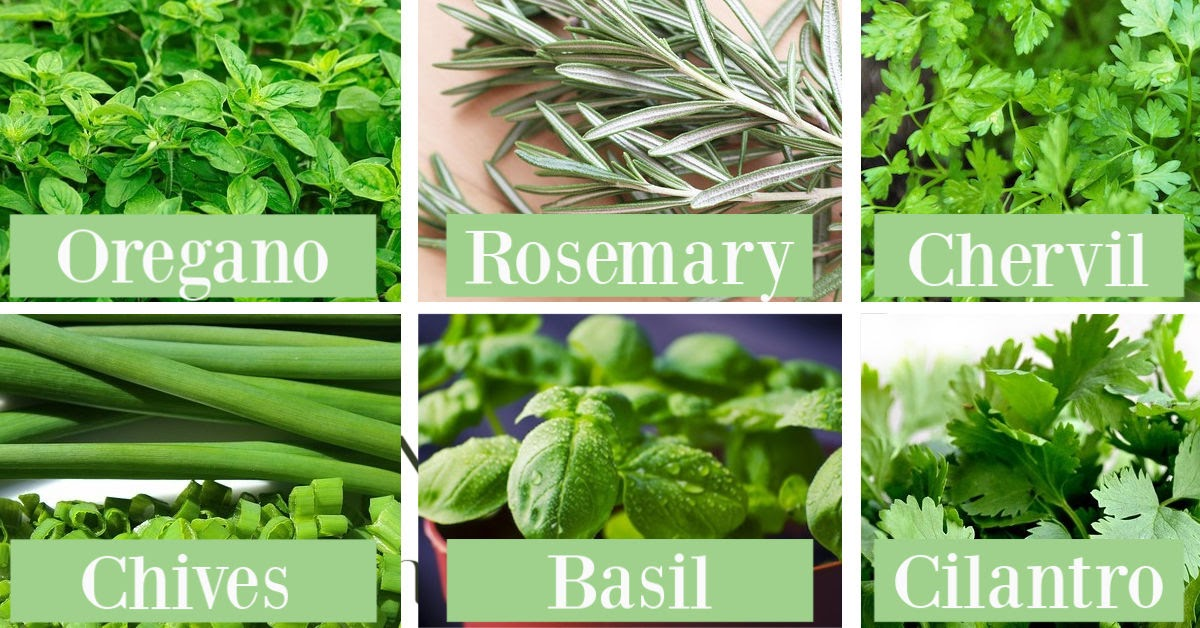 Picture of herbs with their name overlayed on top - oregano, rosemary, chervil, chives, basil, and cilantro